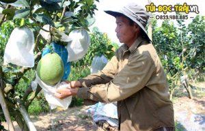 Hướng dẫn kỹ thuật bọc trái bưởi cho năng suất và hiệu quả cao.