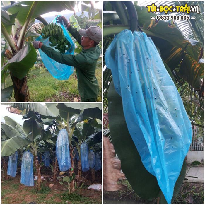 Túi nilon bao buồng chuối giúp ngăn ngừa con trùng gây hại